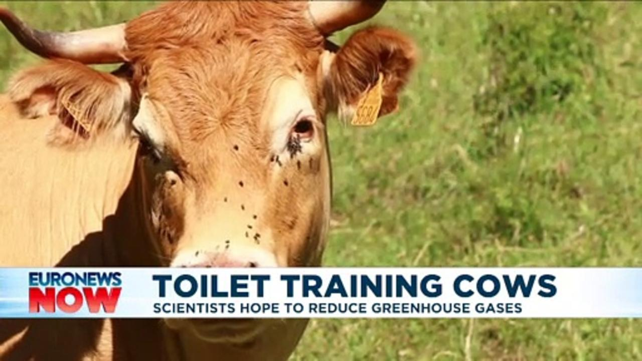 Cows can be 'potty trained like children' for greener environment, says German study