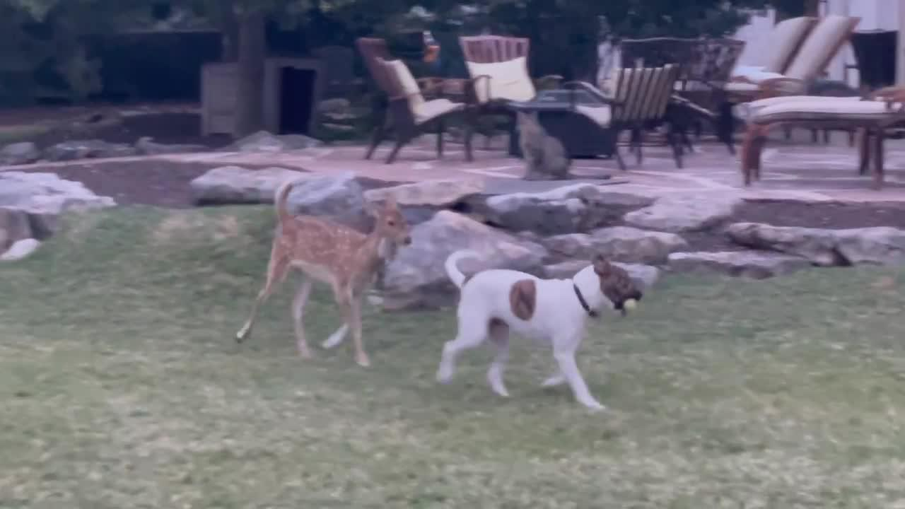 Rescued fawn loves to play with his doggy best friend