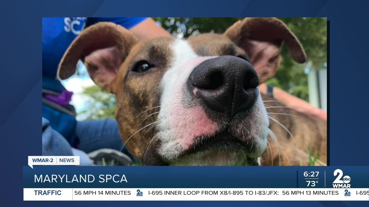 Pedro the dog is up for adoption at the Maryland SPCA