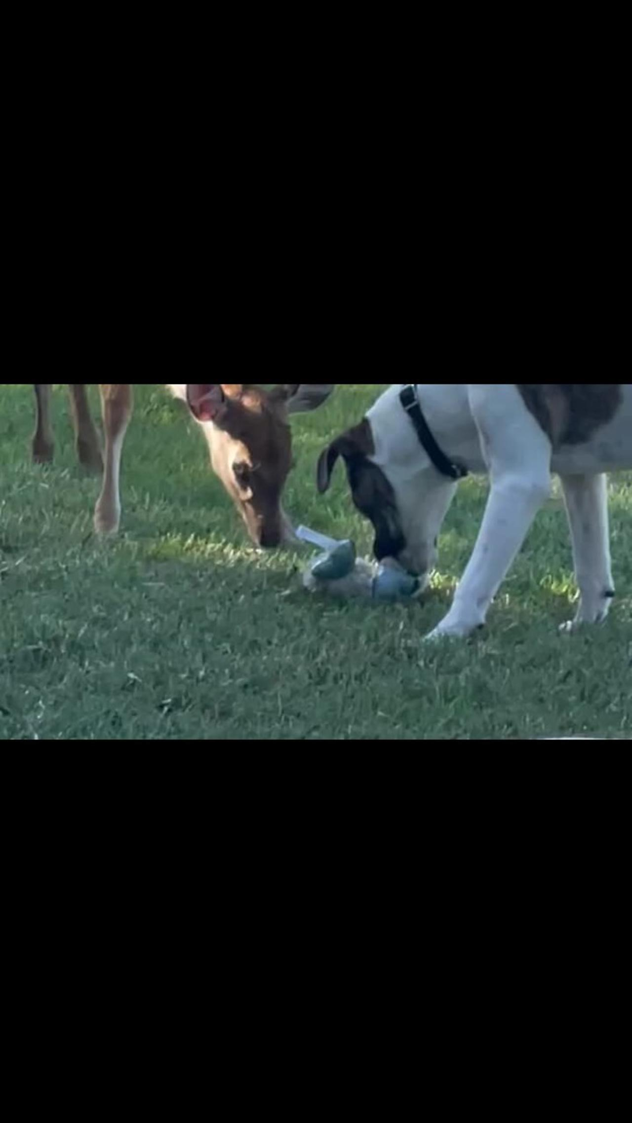 Fawn tries to play with dogs, gets totally taken out