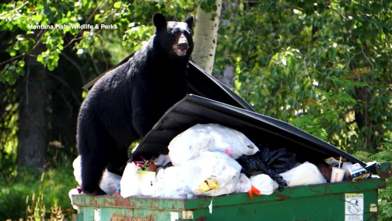 Uptick in Flathead bear activity highlights need to secure garbage