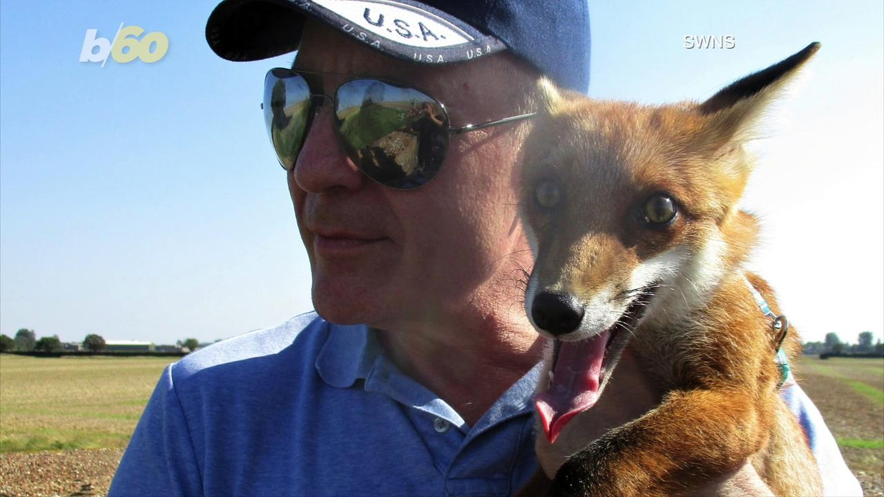 This Adorable Orphaned Fox Finds a New Home in a Man's Sleeve