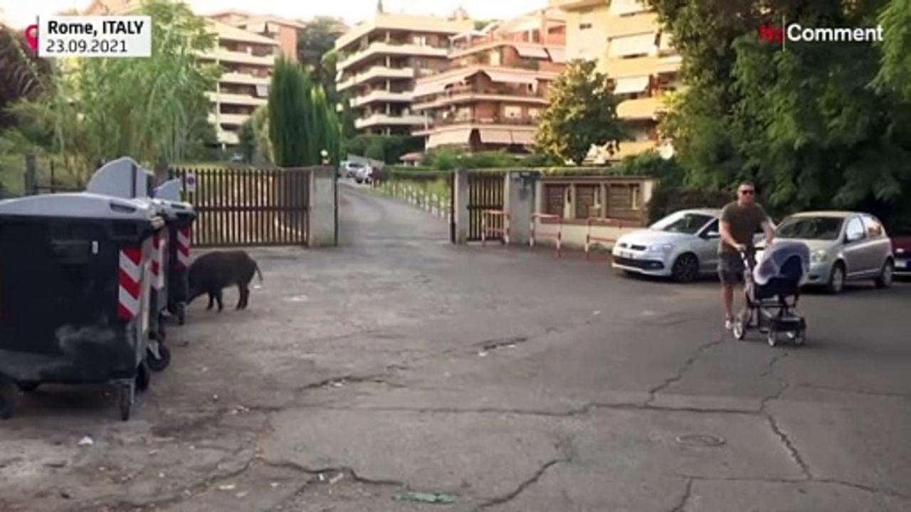 Wild boars hog limelight as they roam around Rome