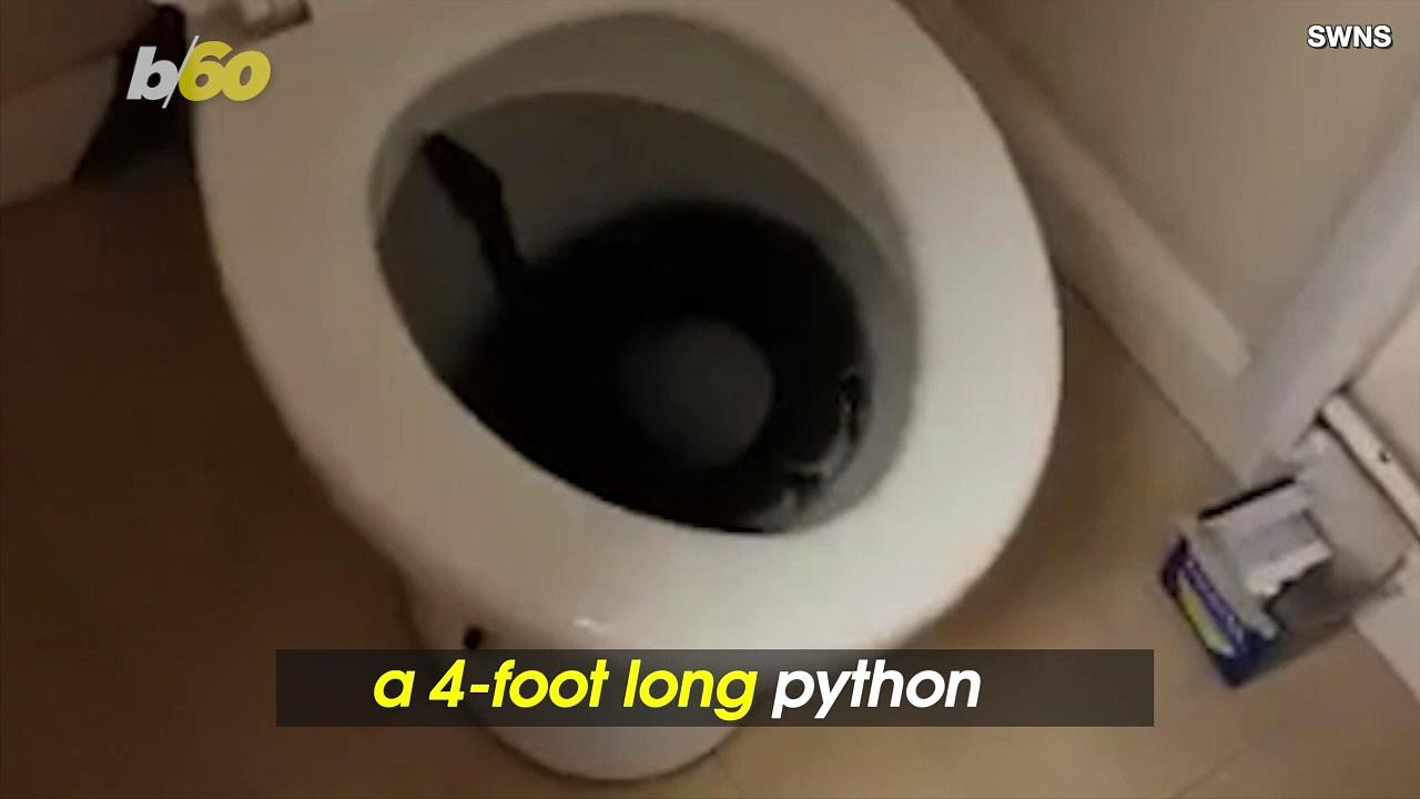 Woman Wakes Up To Find 4-Foot Long Python in Her Toilet