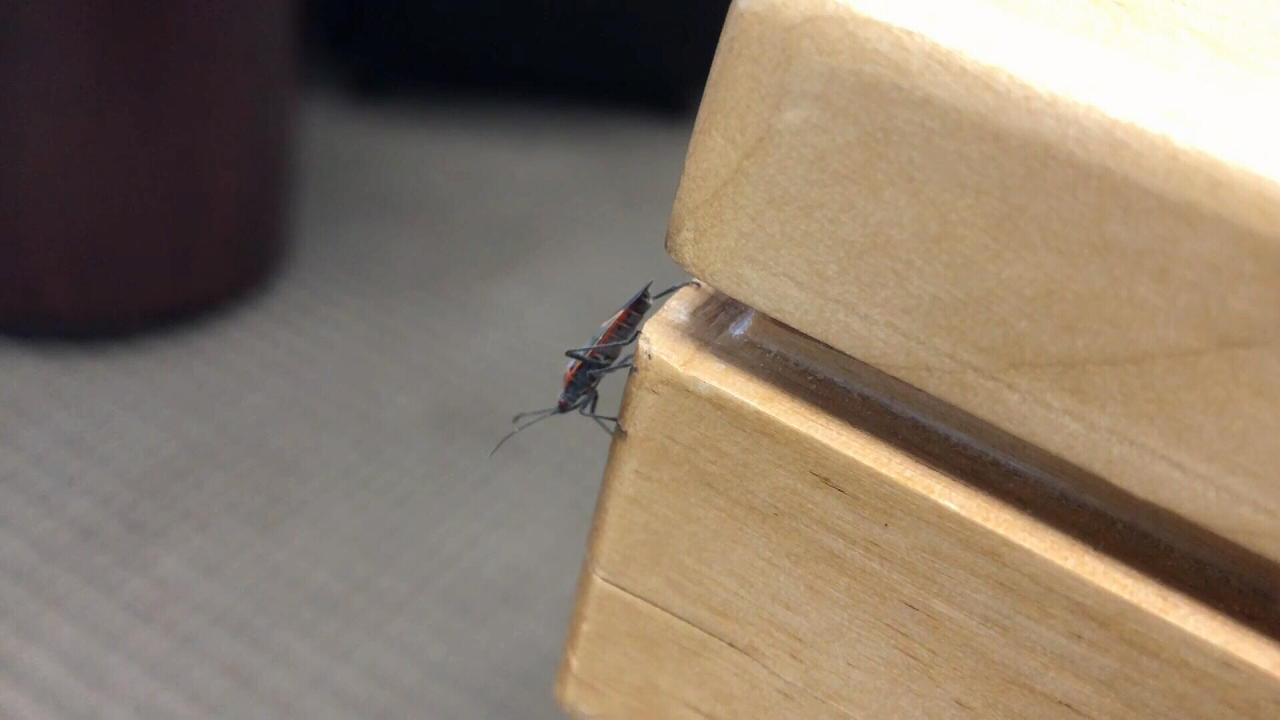 Cold snap should kill portion of booming boxelder bug population in Billings