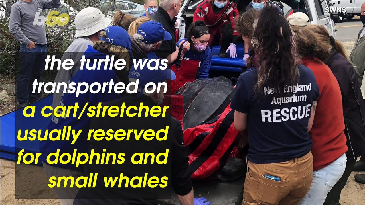 Nearly 600-Pound Turtle Set Free Back Into the Ocean Thanks to Volunteers!