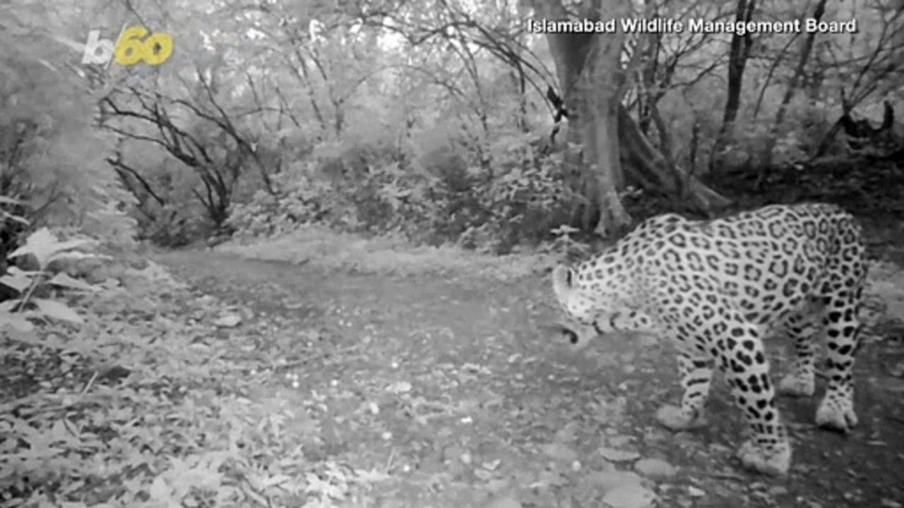 Leaping Leopards! Wildlife Sanctuary in Pakistan Hopes To Increase Its Big Cat Numbers!