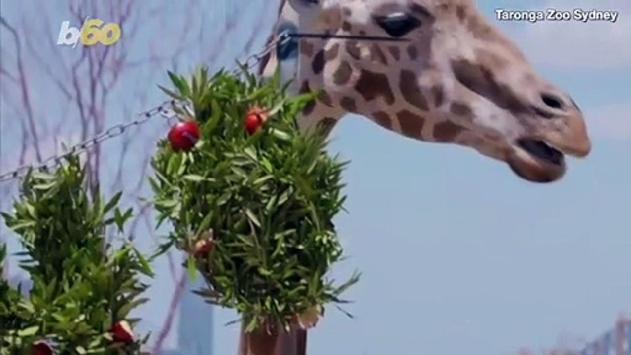 Early Christmas Presents for These Animals at Sydney's Taronga Zoo