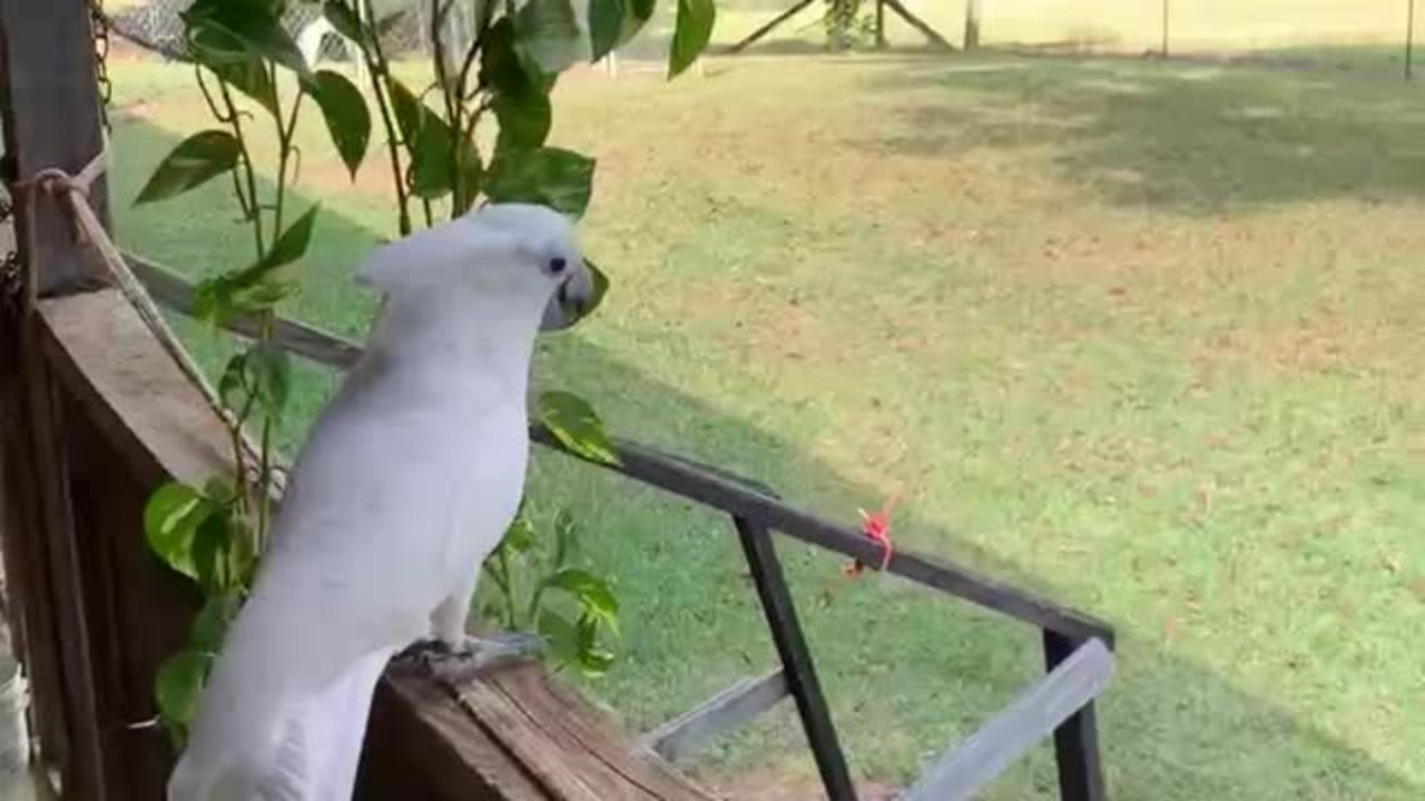 Cockatoo accepts promise of peach cobbler to come inside