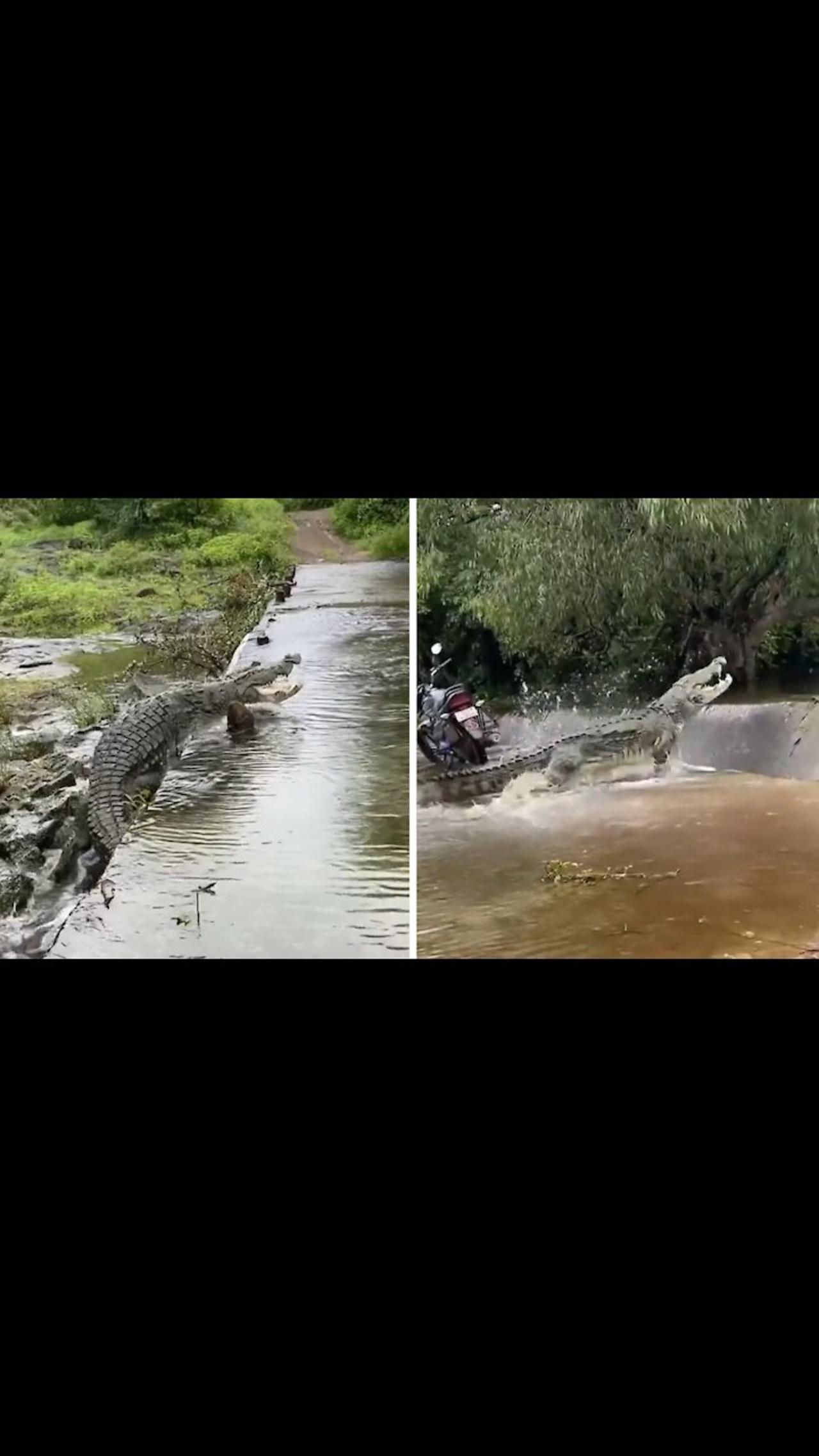 Enormous crocodile in India climbs up river waterfall