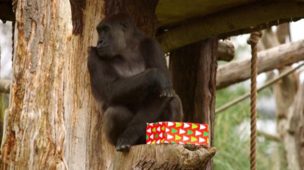 London Zoo's Gorillas Open Gifts Ahead of Christmas!