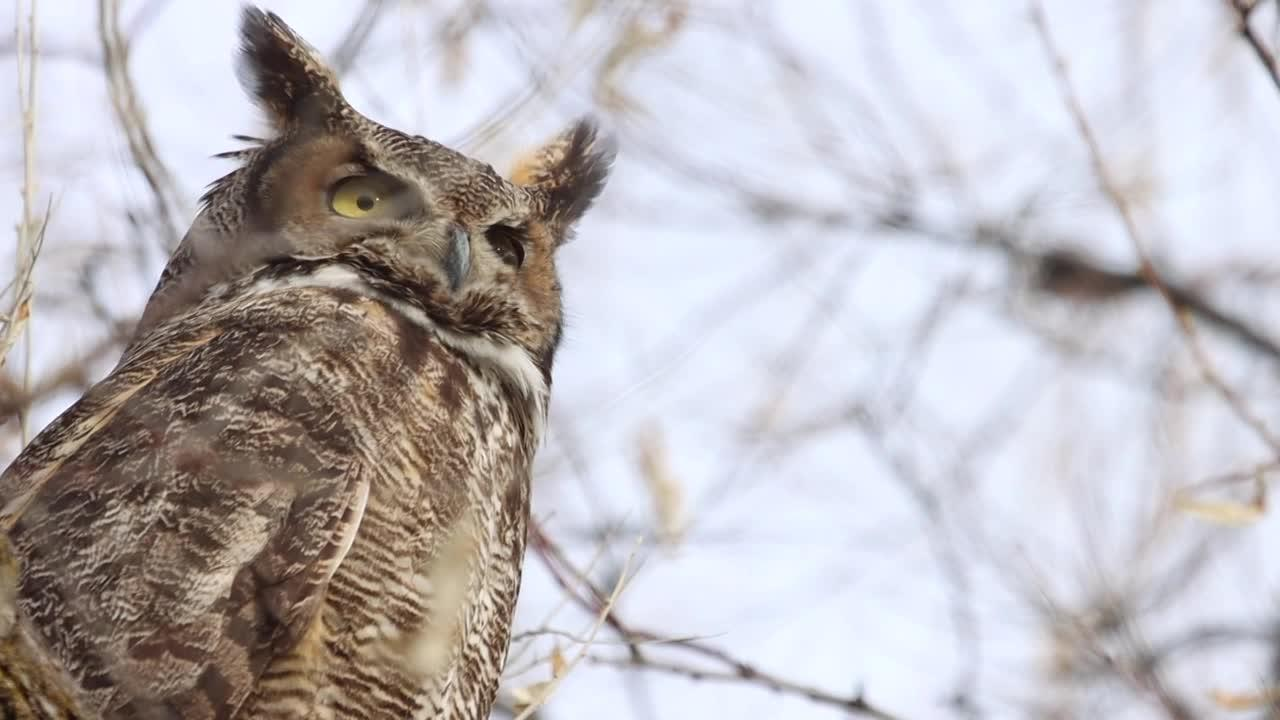 Good time of the year to see owls in Montana