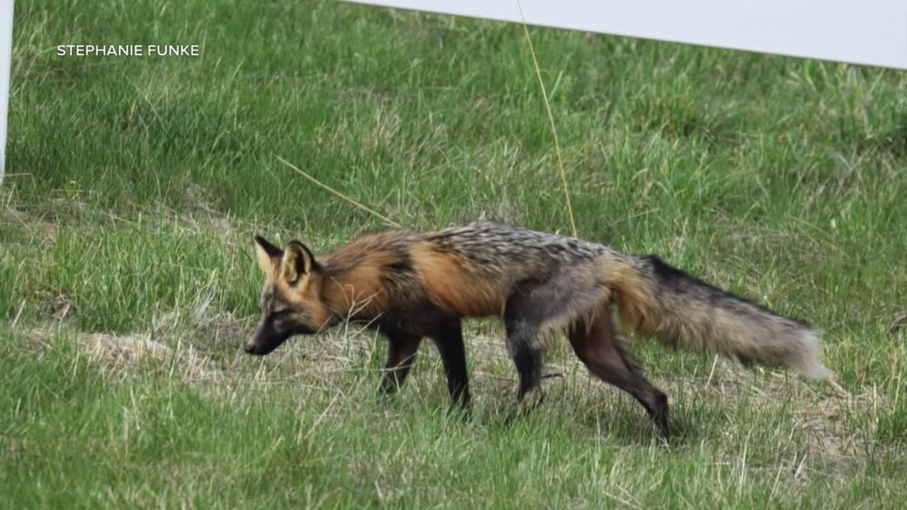 Variety of foxes being seen in Flathead community