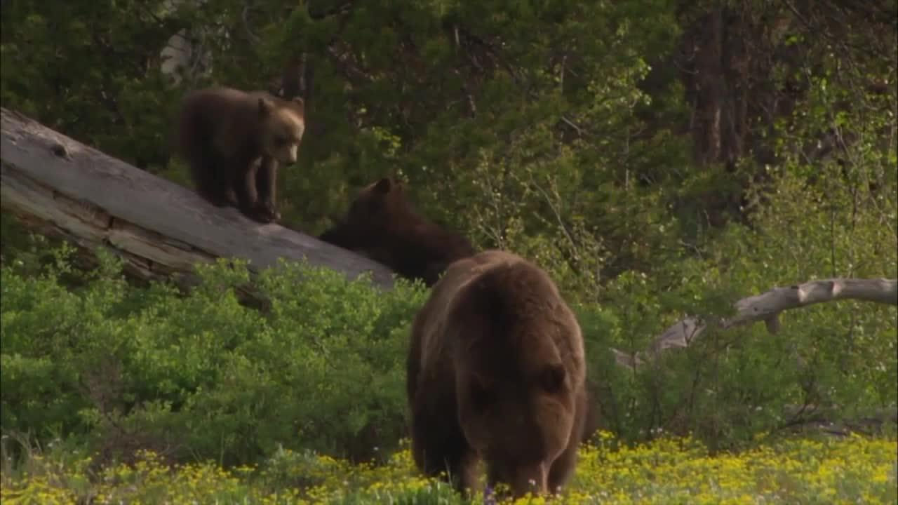 Looking at where grizzly bears roam