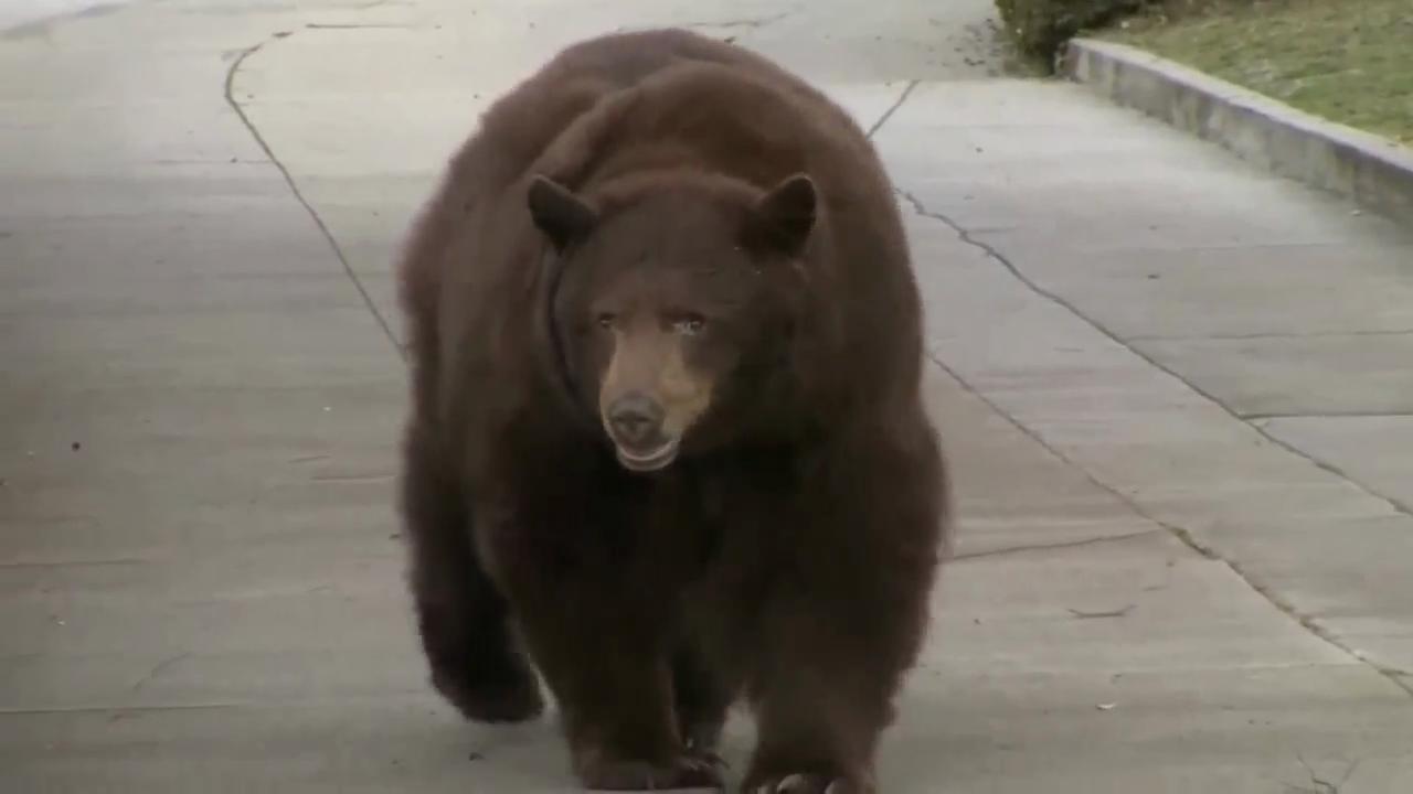 Studying Montana's hibernating bears