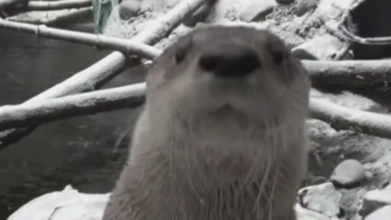 A good time to see river otters in Montana