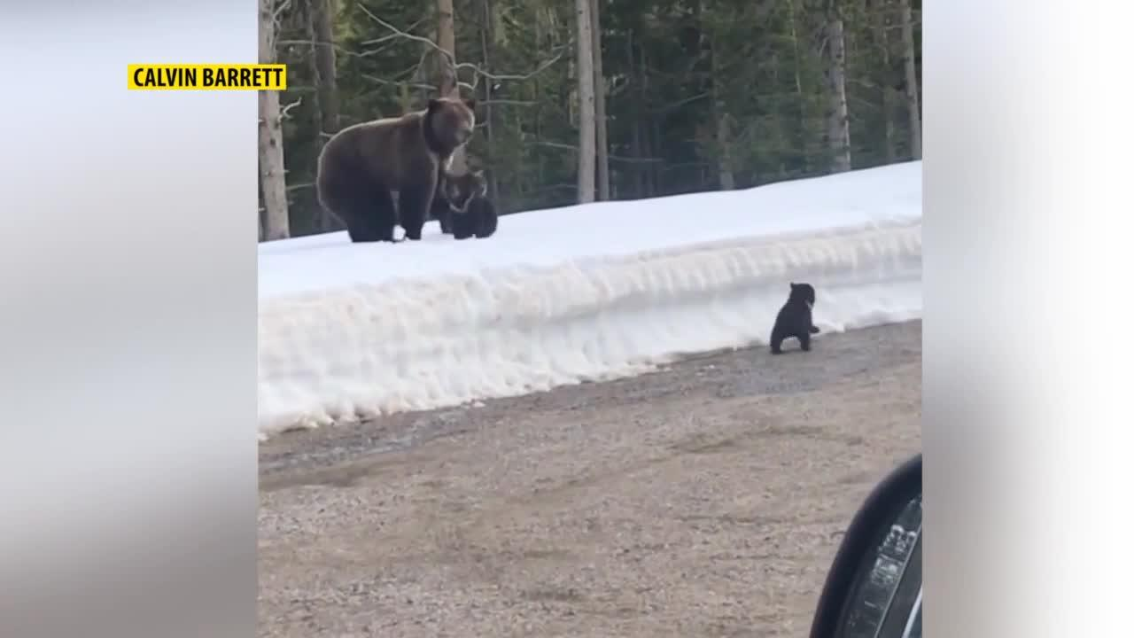 Mother grizzly bear charges at passing car