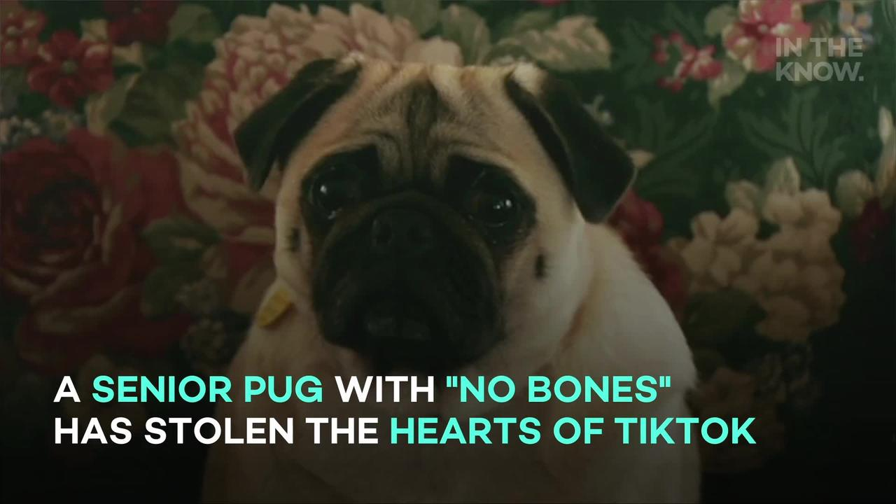 Noodle, the pug who sometimes wakes up with 'no bones,' delights TikTok users